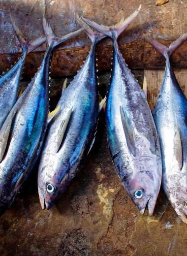 Радиоактивный тихоокеанский тунец не опасен для здоровья