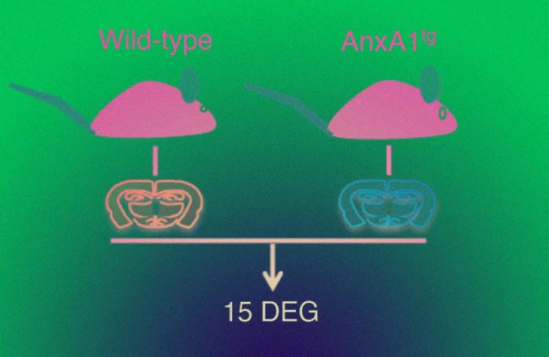 Антитела к белку Immuno-moodulin снизили тревожность мышей