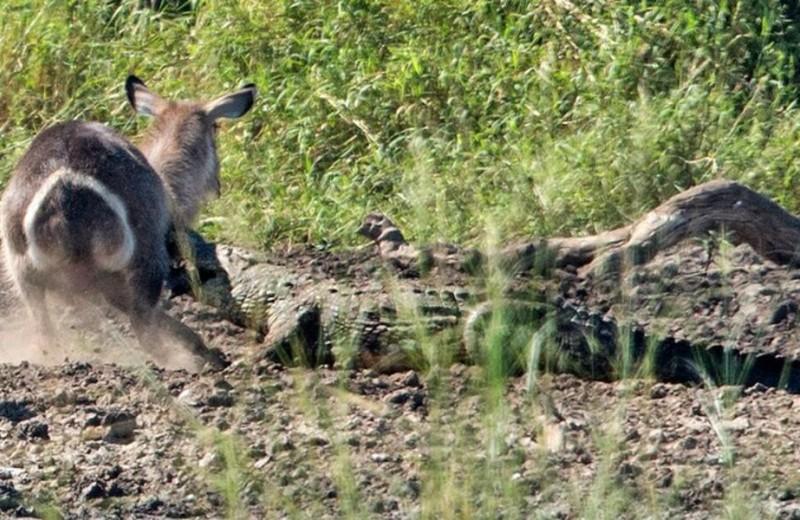 Водяной козел спасается от крокодила: видео