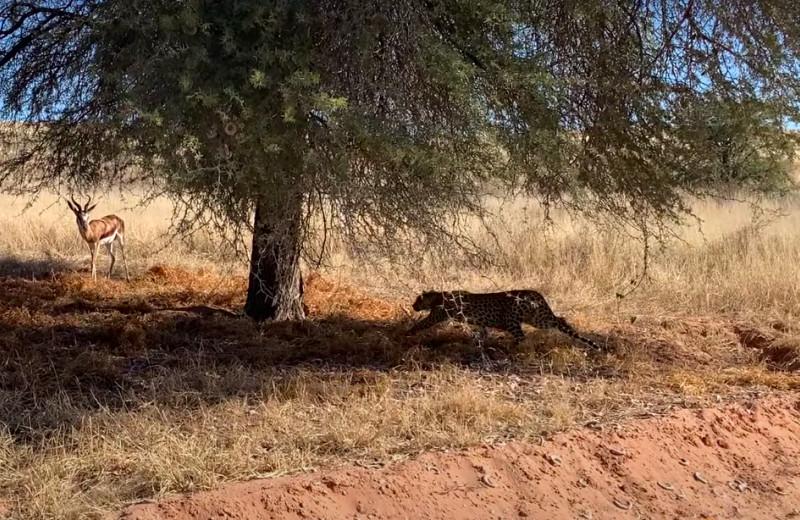 Леопард подкрадывается к беспечной антилопе: видео