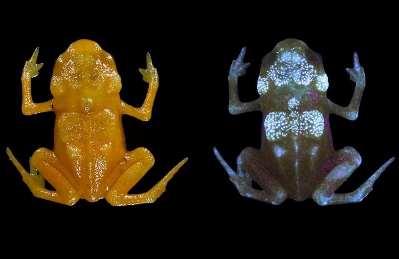 Мерцающий скелет: почему седлоносные жабы светятся изнутри