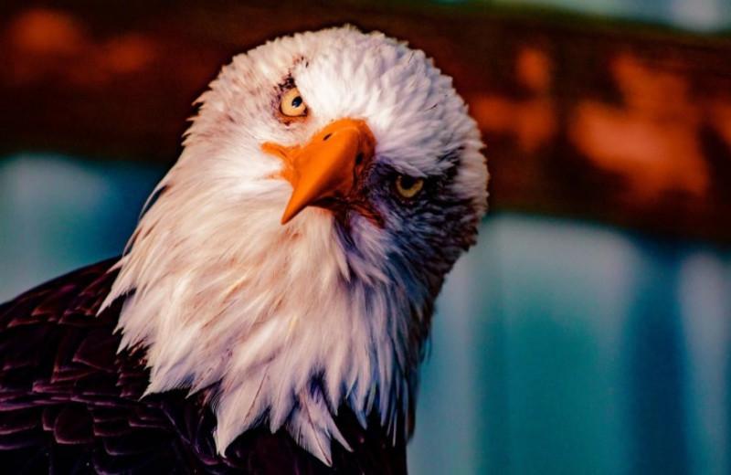 В большинстве трупов беркутов и белоголовых орланов находят крысиный яд