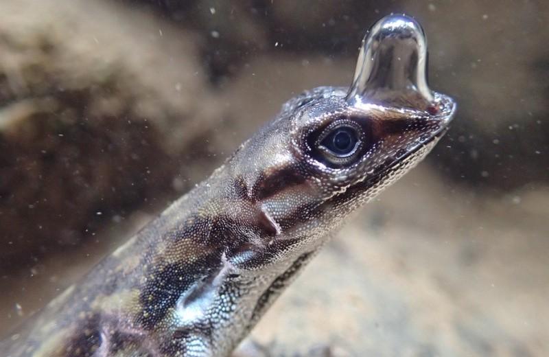 Ящерицы, которые умеют дышать под водой: видео