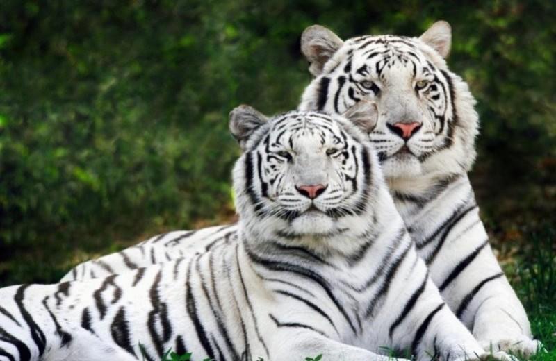 Как появились белые бенгальские тигры?
