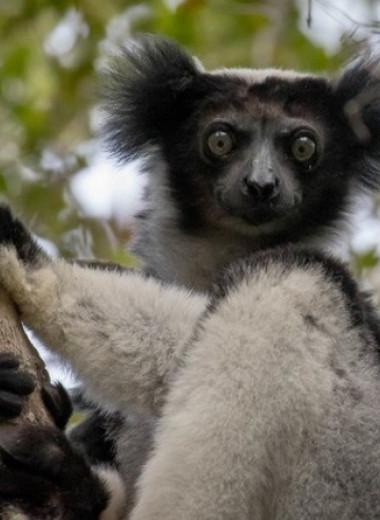 Людей вновь обвинили в вымирании мегафауны Мадагаскара и Маскаренских островов
