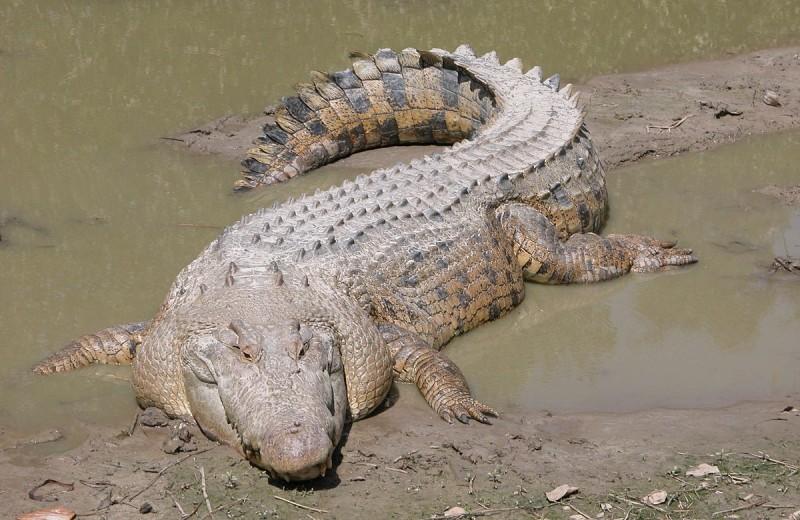 Как крокодилы реагируют на музыку