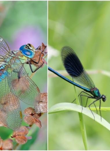 Отчего у стрекоз крылья разных цветов?