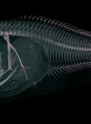 Открыты новые виды глубоководных рыб