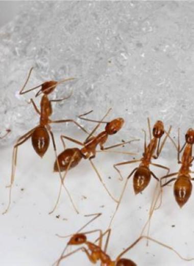 Как на тихоокеанском острове победили желтых сумасшедших муравьев
