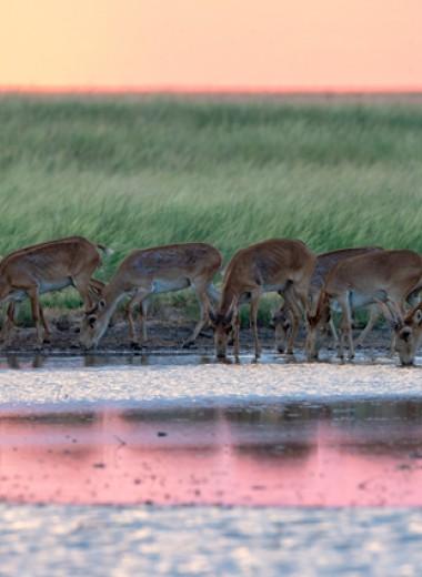 Дрон над сайгаками. Как в России пытаются подсчитать степных антилоп беспилотниками