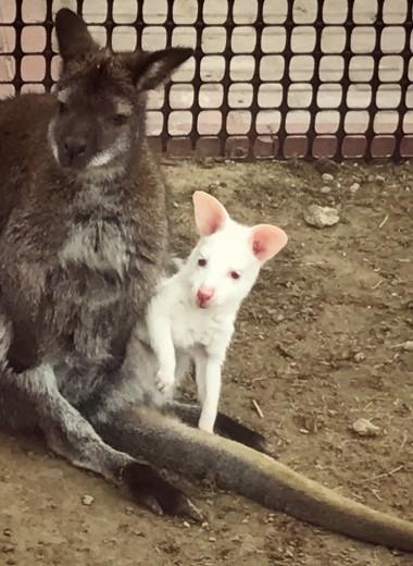 В зоопарке Калуги появился кенгуренок-альбинос