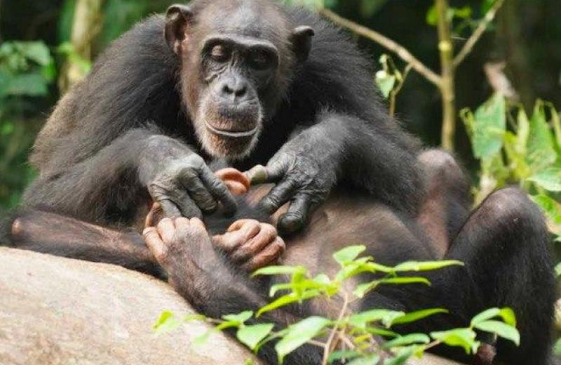Потеря матери снизила репродуктивный успех самцов шимпанзе