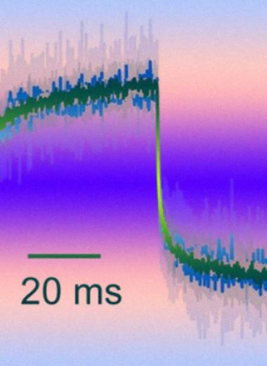 Биологи опровергли моторную модель медленной адаптации волосковых клеток