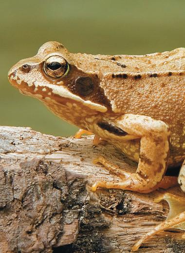 Откуда родом лягушка — подскажет её кожный секрет
