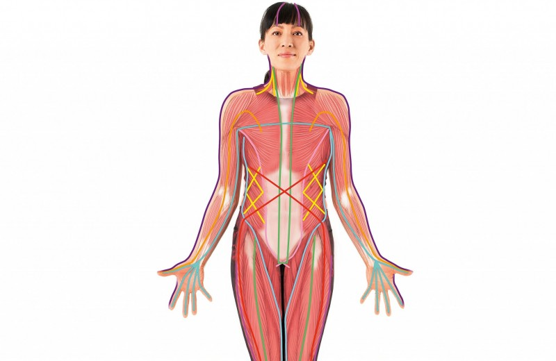 Как фасции формируют тело