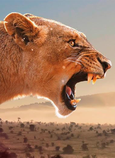 Лев человеку волк
