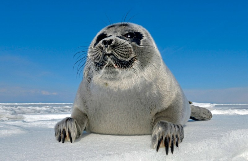 Необычный тюлень в необычном озере