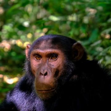 Шимпанзе и люди одинаково понимают иерархию