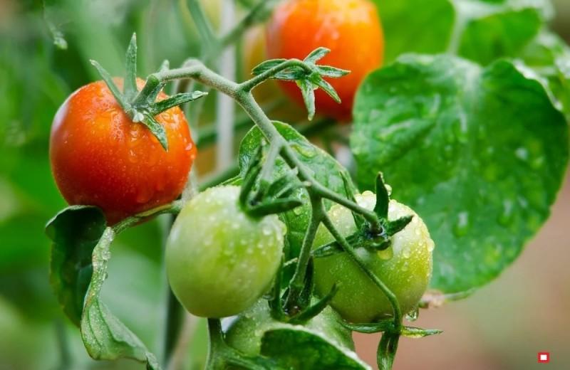 Безрассадные томаты