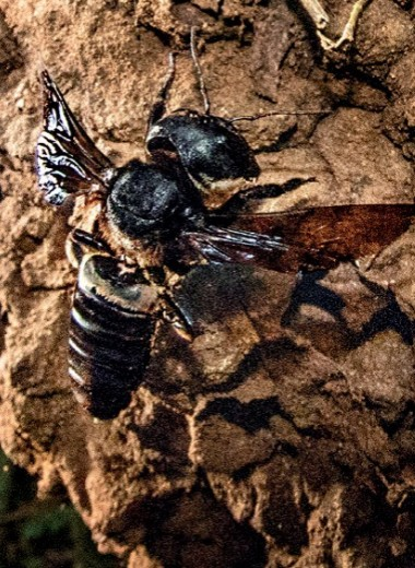 Самая большая пчела в мире