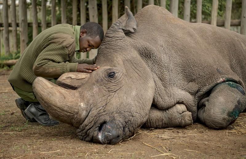 Последний белый носорог на планете
