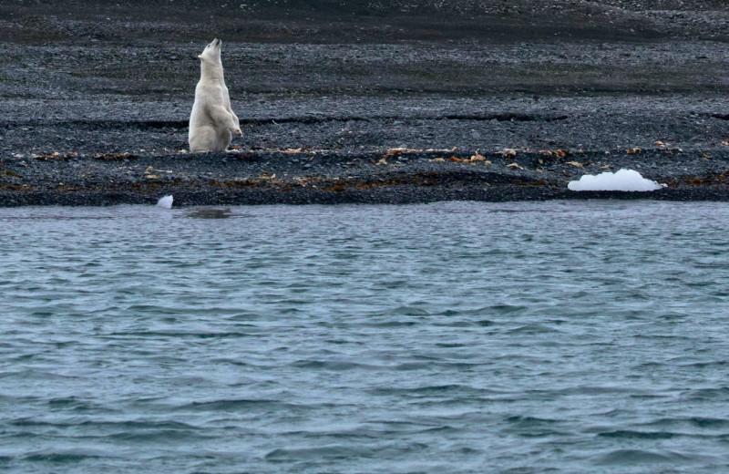 Как живётся в Арктике белым медведям и людям