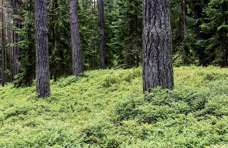 Лесные девицы — черницы и голубицы