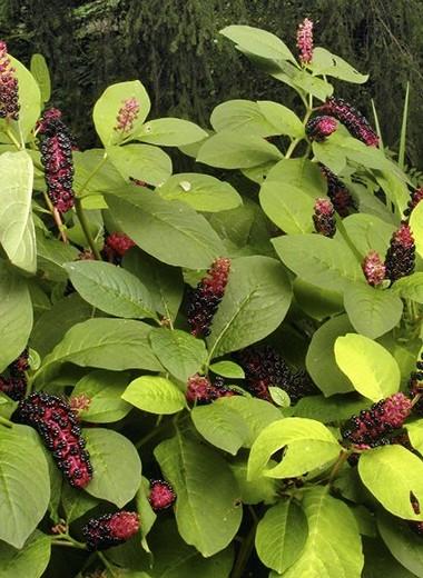 Декоративные плоды теневого сада