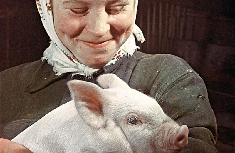 Свинская жизнь