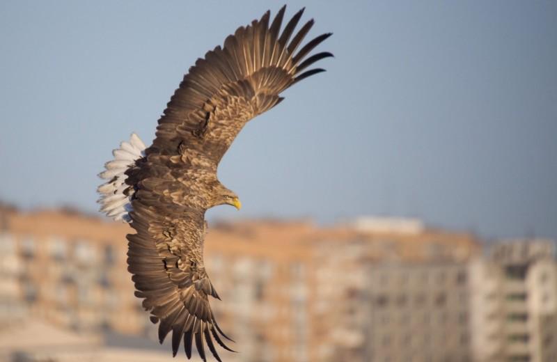 Орланы в городе