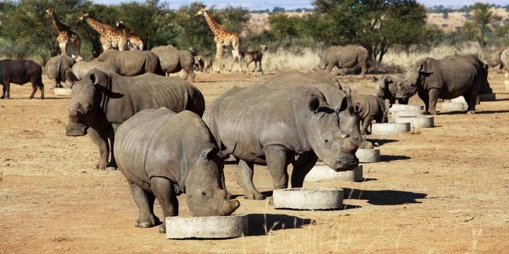 Носорог ЗолотыеРога
