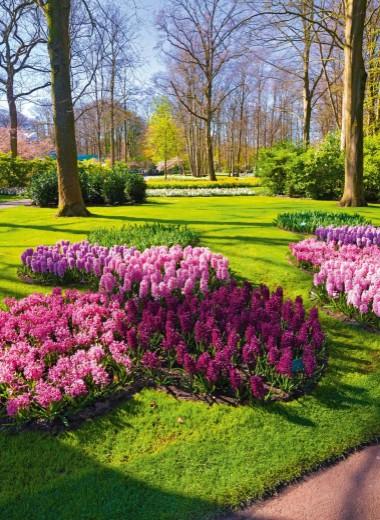 Цветущий голландец