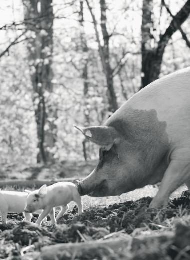 Свинотворение