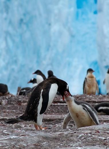 Пингвины, белые медведи и северные олени:почему холодолюбивые животные не вымирают от потепления?