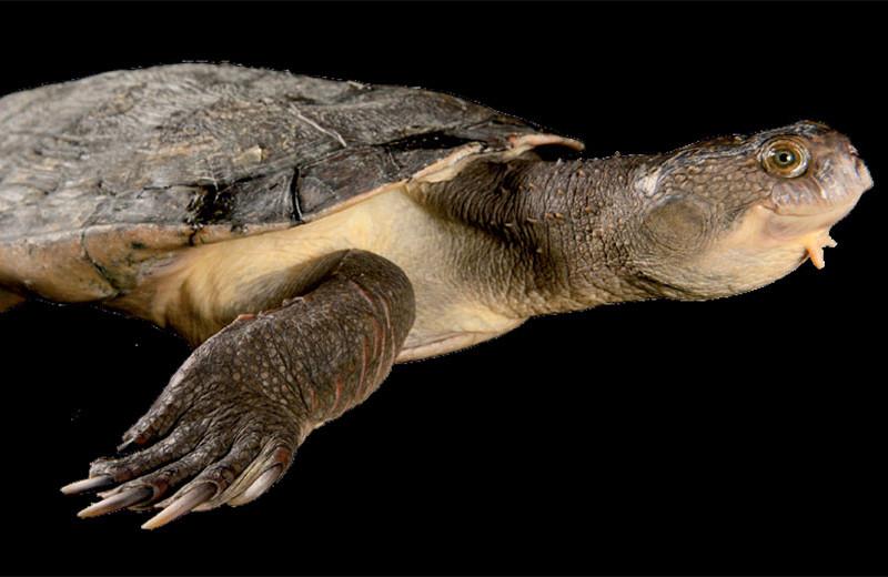 Черепаха, которая дышит задом