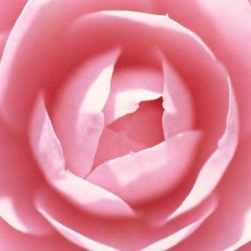 Цветок гейши
