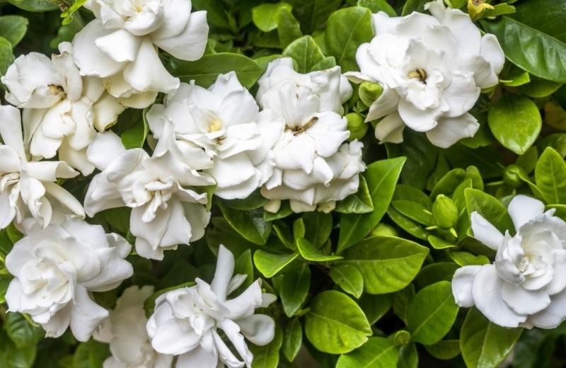 Цветы нирваны