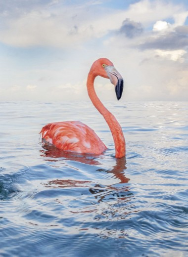 Фламинго Боб