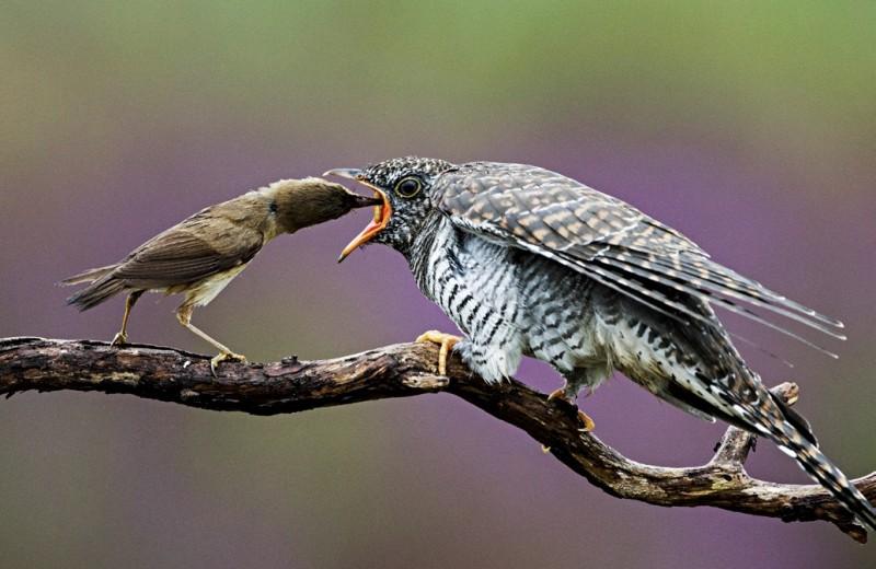 Птенец-задира