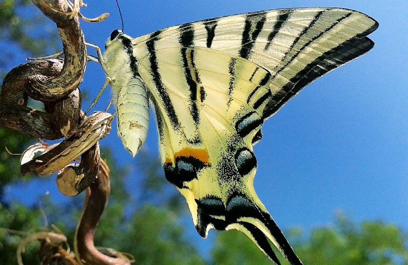 «Мифологические» бабочки