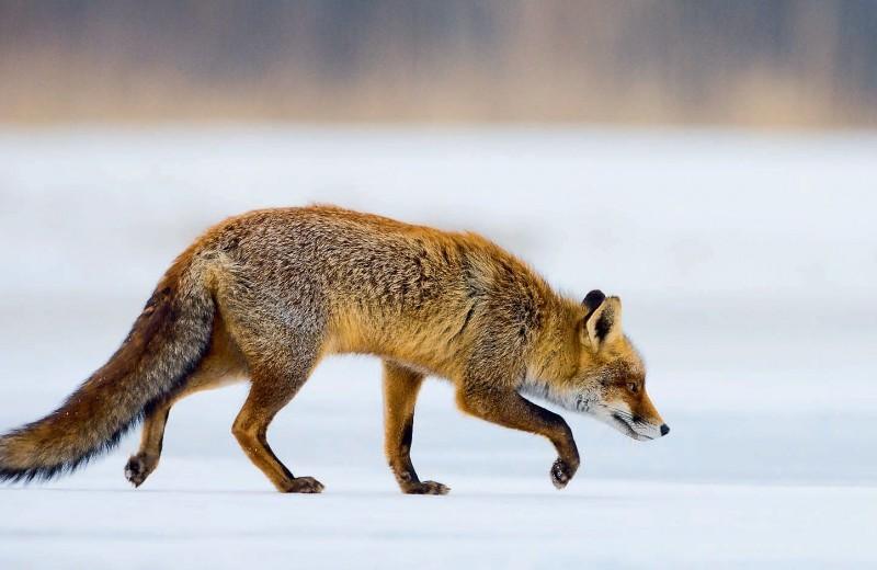 Смекалистая лиса