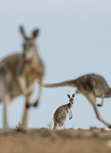 Страсти по кенгуру