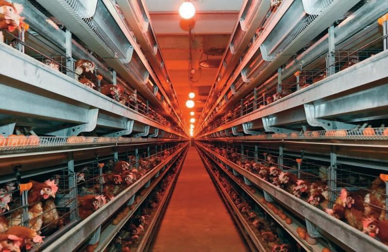 Птицеводы и свиноводы освоят Сибирь и Азию