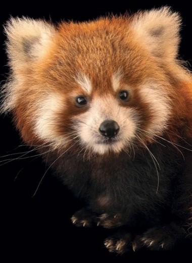 Малые панды спариваются лишь раз в год
