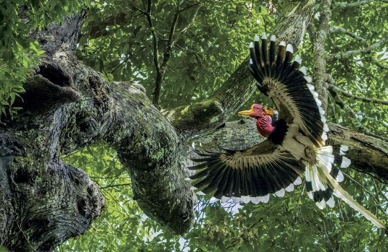 Шлем этой редкой птицы – вожделенный приз для браконьеров.Удастся ли ей выжить?