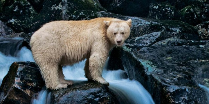 Почему этот черный медведь – белый?