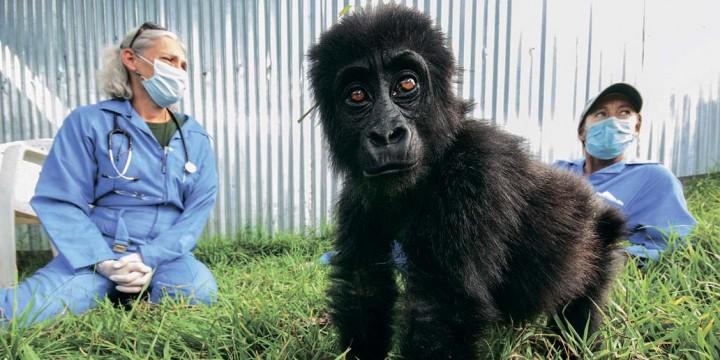 Врачи для горилл