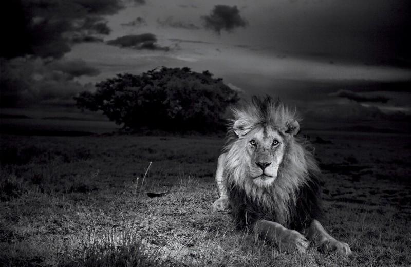 Элегия льву